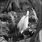 Great Egret B&W by D R Moore