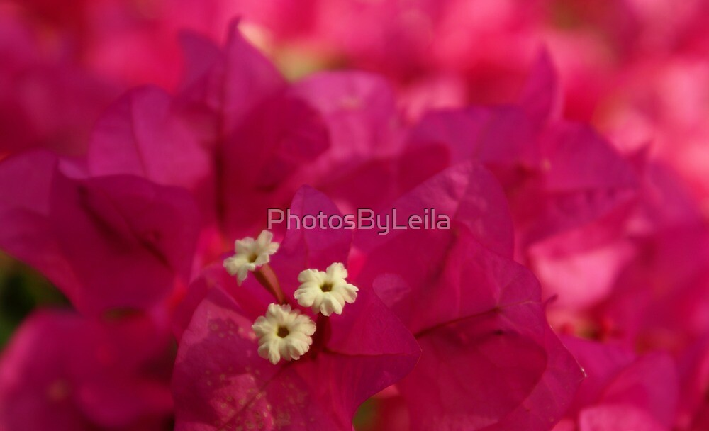 Prominent Pink by PhotosByLeila