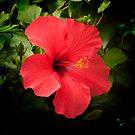 Red Flower-Hibiscus by Kelvin Hughes
