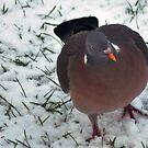 Woodpigeon Wobble by loz788