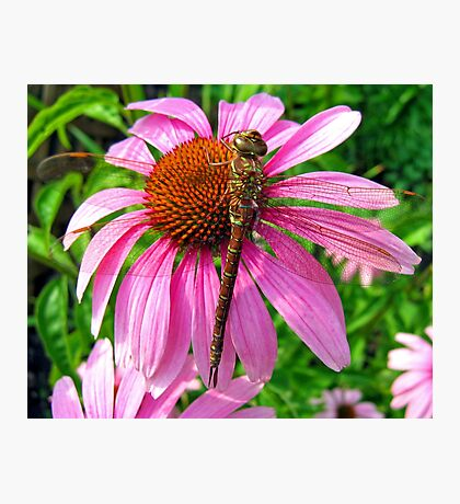 Dragonfly & Echinacea Photographic Print
