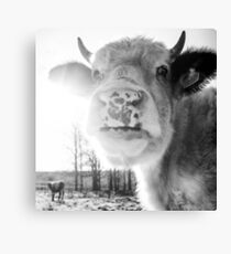 Cattle In Sun Canvas Print