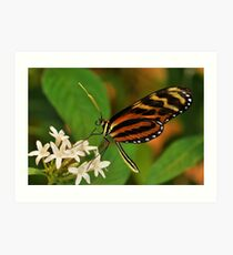 Tiger LongWing Butterfly - Tucson, Arizona Art Print