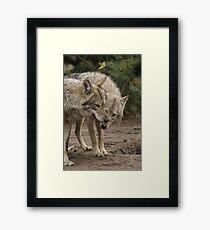 Rescued Timber Wolves 1 Framed Print