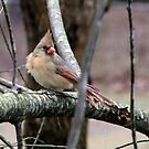 Mrs. Cardinal by Lolabud
