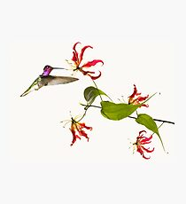Colibri on tropical lily flower Photographic Print