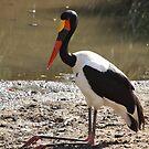 Saddle Billed Stork by Jo McGowan