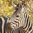 Zebra portrait by Jo McGowan