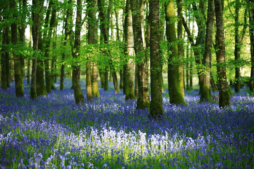 Sun  dappled  bluebell  woods. Ireland by EUNAN SWEENEY