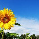 sunflower by oralphd