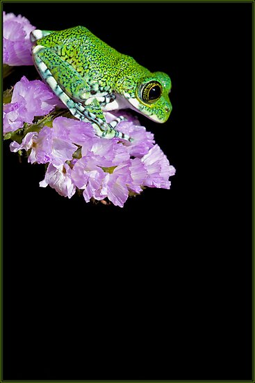 Peacock frog on pink flower by Angi Wallace
