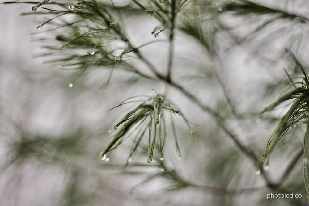 Precision/Evergreen by photolodico