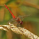 Ruddy Darter Obelisking by Robert Abraham