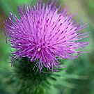 Thistle by Susan Brown