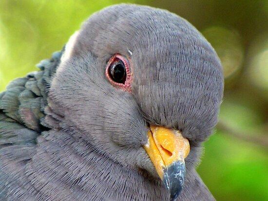 "Band-tailed ""Cutie Pie"" Pigeon by Kimberly Chadwick"