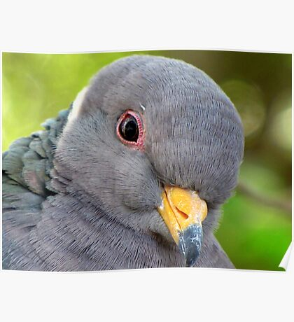 """Band-tailed """"Cutie Pie"""" Pigeon Poster"""