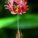 Coral Hibiscus Pink Red Flower by Jason Pepe
