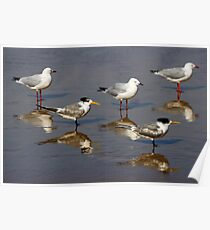 Crested terns and seagulls on Aslings Beach Poster