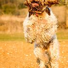 Brown Roan Italian Spinone Dog Leaping by heidiannemorris