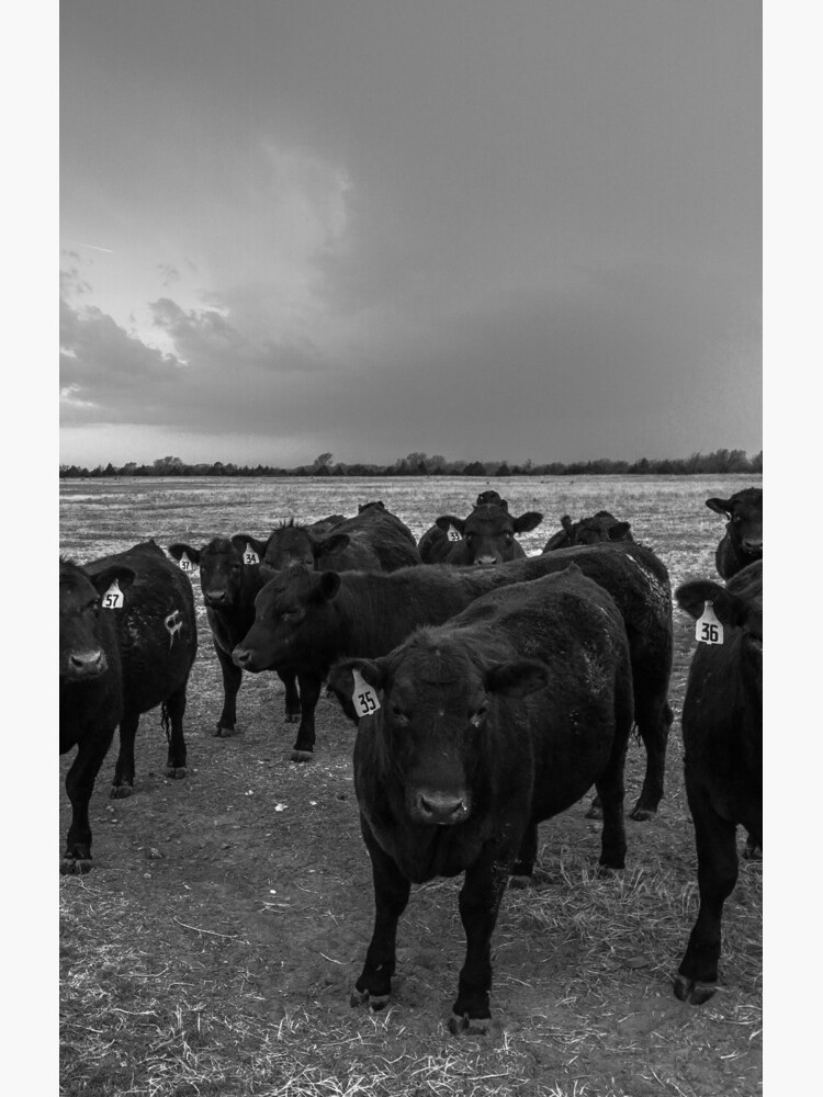 Hanging Out - Angus Cattle Hang Out with Photographer as Storm Brews in Kansas by SeanRamsey