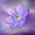 Blau-Flieder Anemone von TerryIKON