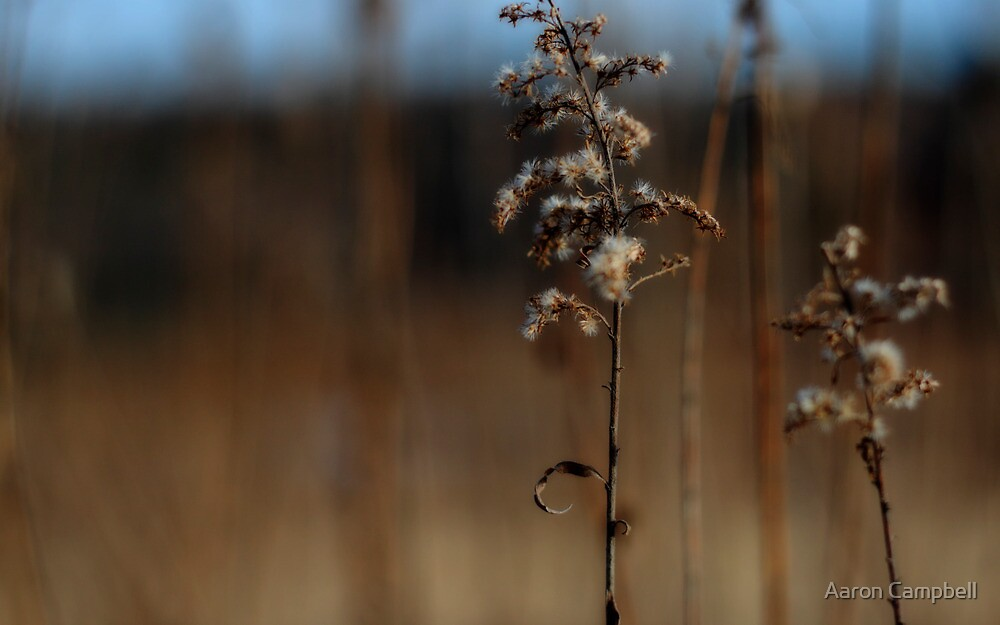Dried Goldenrod by Aaron Campbell