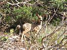 Mule Deer ~ Fawn by Kimberly Chadwick
