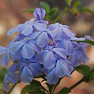 Plumbago by Lozzar Flowers & Art