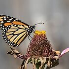 Monarch 2018-33 by Thomas Young