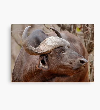 IN PROFILE - The Buffalo - Syncerus caffer  Canvas Print