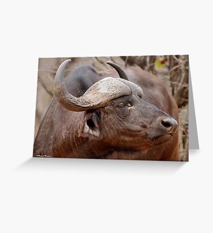IN PROFILE - The Buffalo - Syncerus caffer  Greeting Card