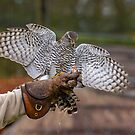 Goshawk with Falconer by Dave  Knowles