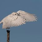 Snowy owl cover up by Jim Cumming