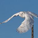Snowy owl take-off by Jim Cumming