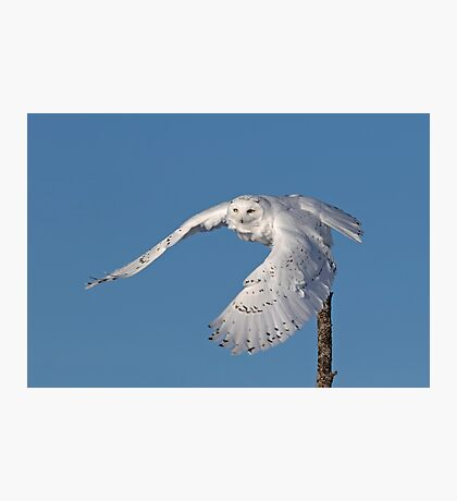 Snowy owl take-off Photographic Print