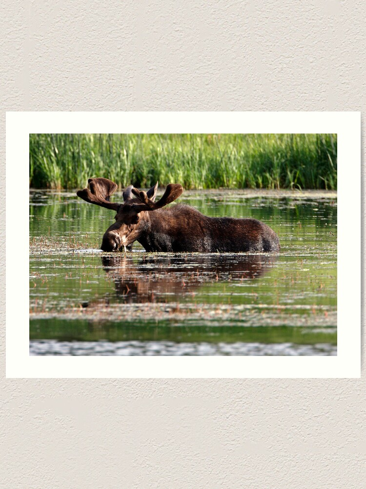 Alternate view of Aquatic Moose Art Print