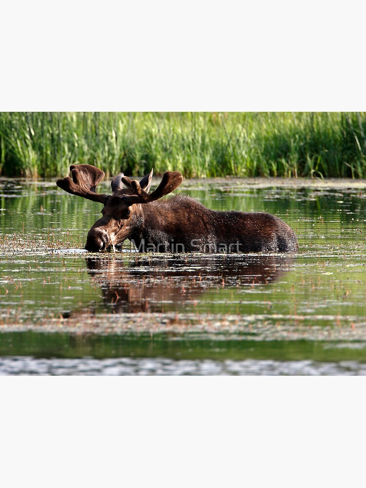 Aquatic Moose by MartinSmart