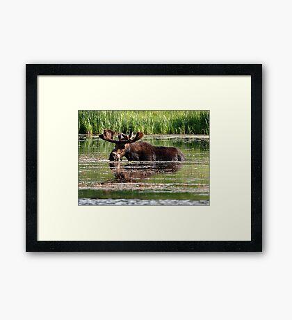 Aquatic Moose Framed Print
