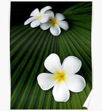 White frangipanis Poster