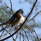 Rufous Sided Towhee by Lolabud