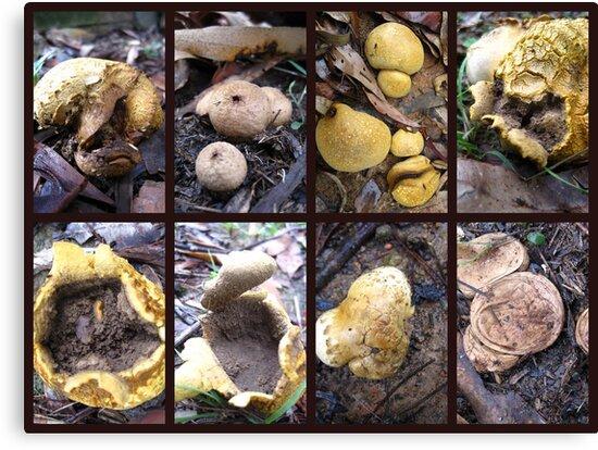 Puffball Fungi by Vanessa Barklay