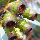 Eucalypt Gumnuts on Wilber by pedroski