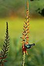 Sunbird on Aloe by David Clark