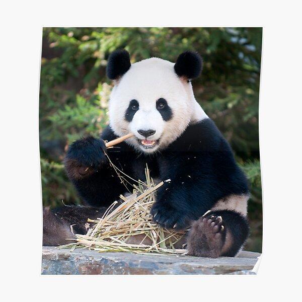 Giant Panda - Funi Poster
