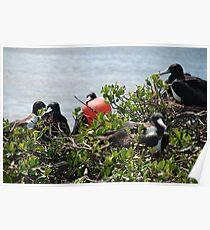 Frigate Bird Poster