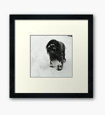 Samson in the snow Framed Print
