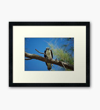 Osprey's Lunchtime Framed Print