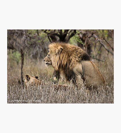 THE LION – 'KING OF THE JUNGLE'  Panthera leo Photographic Print