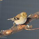 Finch In The Winter Sun by Deborah  Benoit
