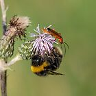 Bumble Bee and Soldier Beetle by DonMc